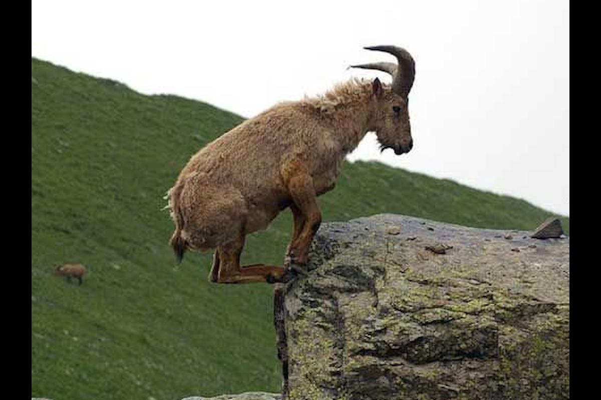 Come fanno le capre ad avere un grande equilibrio?