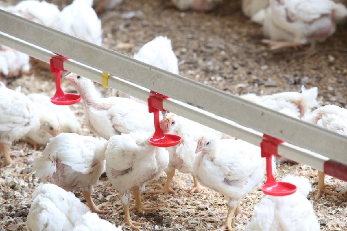 Pollo e antibiotici: mai per favorire la crescita, ridotto l'uso dei farmaci negli allevamenti