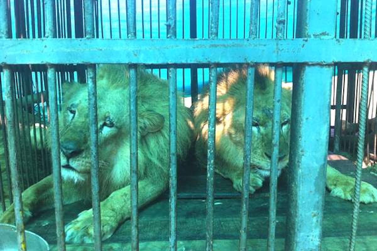33 leoni salvati da circhi in Sud America torneranno in Africa
