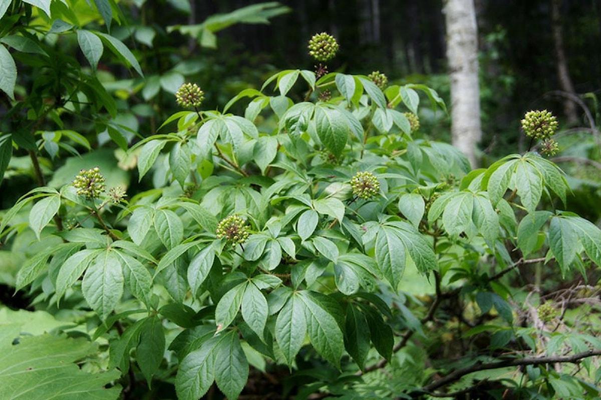 Le piante della salute, Eleuterococco